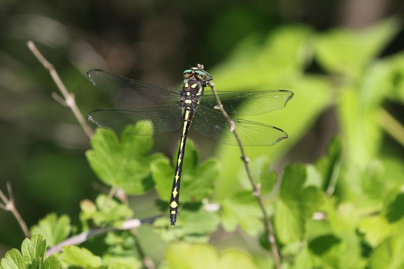 Photo of Arrowhead Spiketail