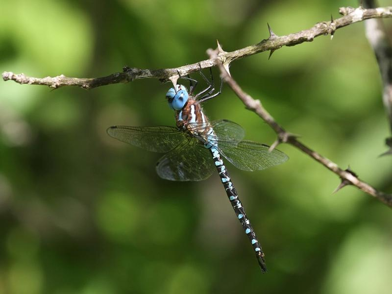 Photo of Spatterdock Darner