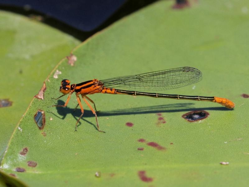 Photo of Lilypad Forktail