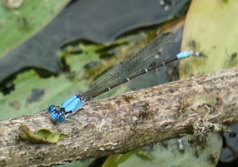Photo of Blue-fronted Dancer