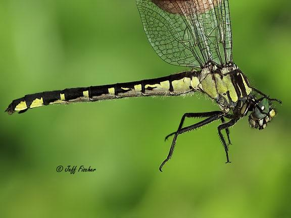 Photo of Green-faced Clubtail