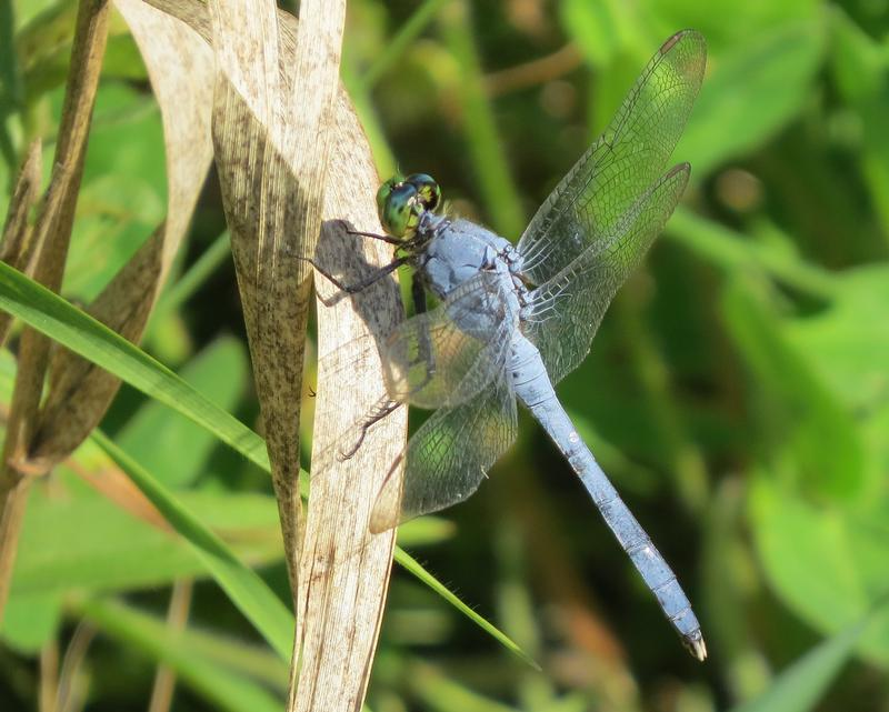 Photo of Eastern Pondhawk