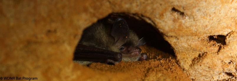 image of a hibernating northern long-eared bat