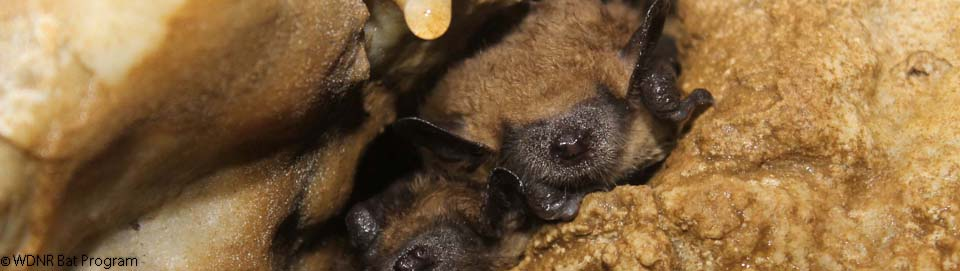 image of a cluster of big brown bats