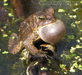 image of Eastern American Toad