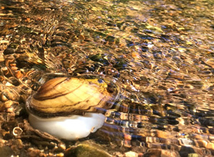 photo of fatmucket mussel