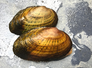 photo of rainbow shell mussels