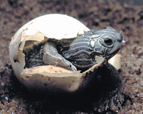 image of hatching northern map turtle