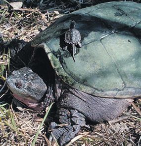 image of Snapping Turtles