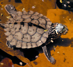 image of a Southern Map Turtle