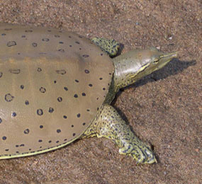 image of a Spiny Softshell