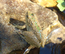 image of a Blanchard's Cricket Frog