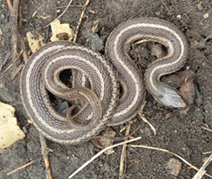 image of a Lined Snake