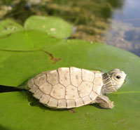 thumbnail of Northern map turtle